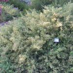 Privacy Hedges That Are Drought Tolerant 10 Socal Options Install It Direct