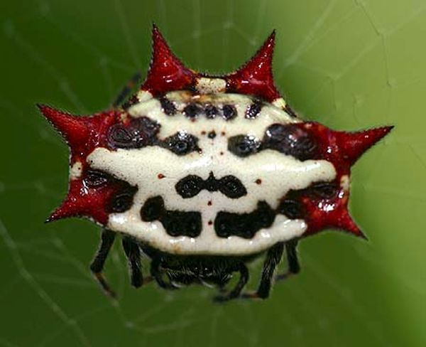 The spiny orb weaver