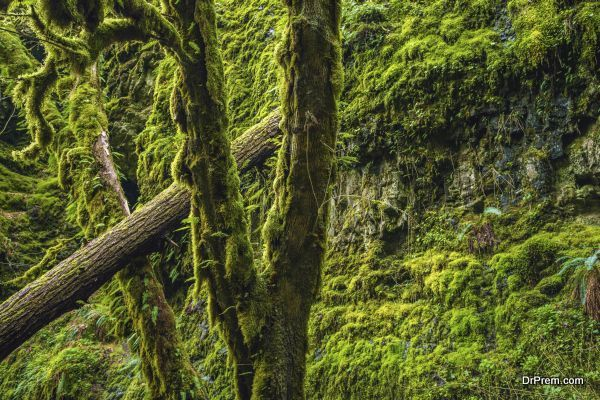 Mossy Oregon Forest