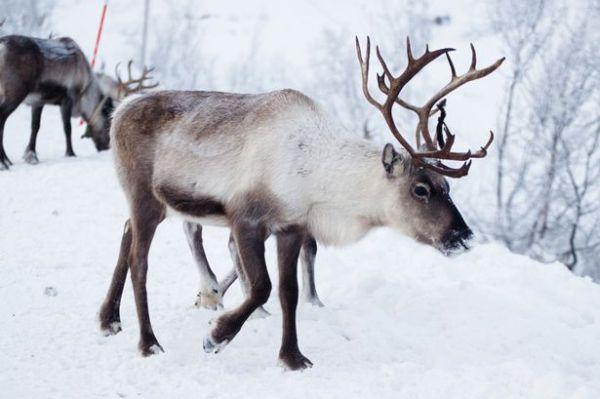 Brown Eyeballs of Reindeers turn Blue in Winter