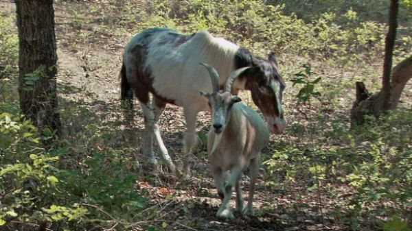 Goat Jack   and Horse  Charlie
