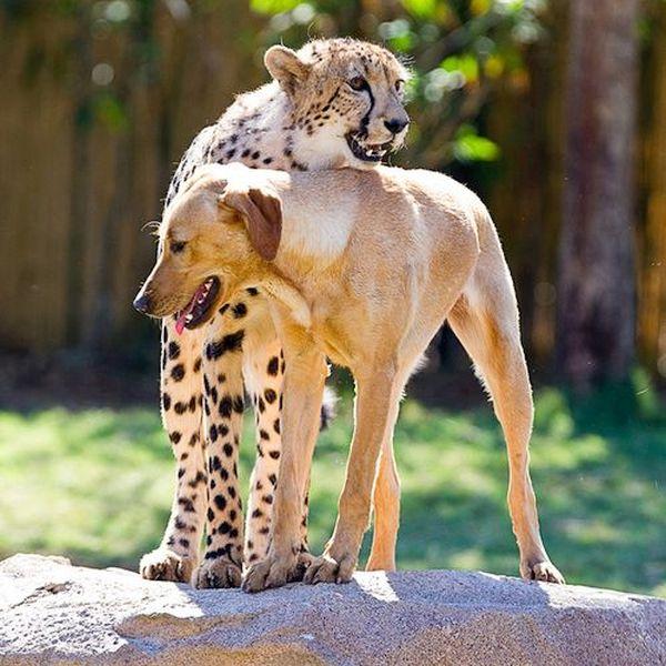 Kasi (cheetah) and Mtani (golden retriever)