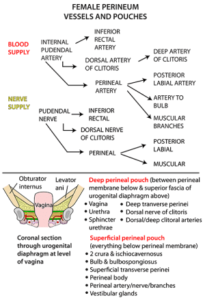 Instant Anatomy  Abdomen  AreasOrgans  Perineum