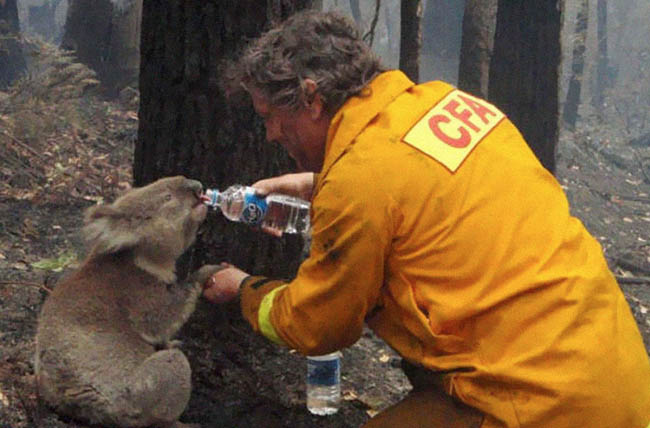 A firefighter gives water to a koala