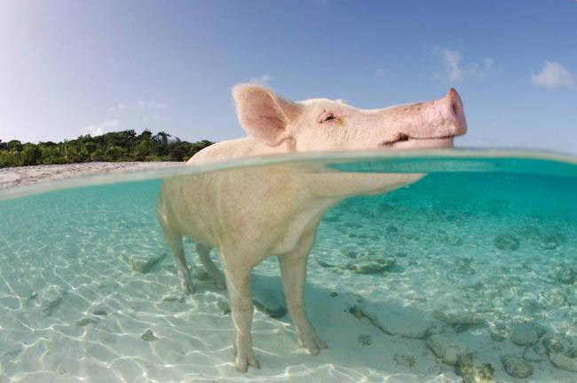 Pig Beach in the Bahamas