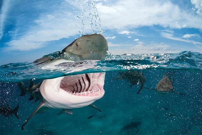 Lemon sharks in Slovakia