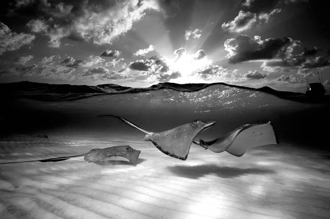 Southern Stingrays, Grand Cayman Island