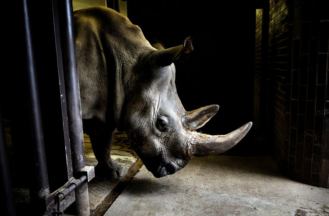 Four of the last seven Northern White Rhinos in the world