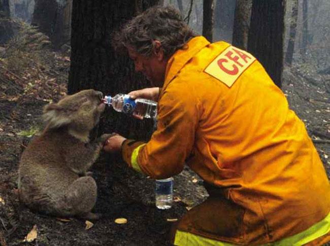21st century photos - A fireman rescues a koala during Australian bushfires. [2009]