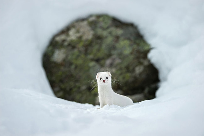 Winter White, Gran Paradiso National Park, Italy
