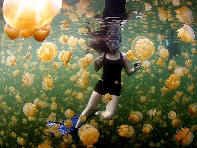Yellow Jellies, Rock Islands Of Palau