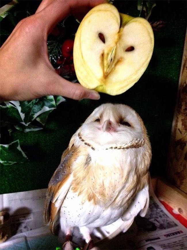 Owl with Apple owl.