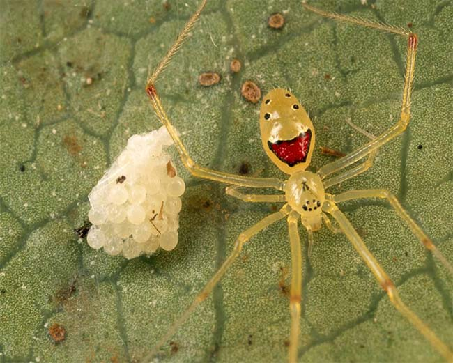 Theridion Grallator, Also Known As The Happy Face Spider