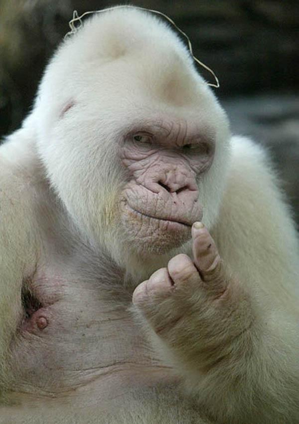 Albino Gorilla knows it all