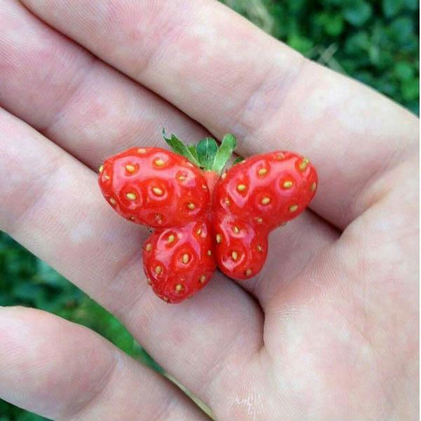 A Strawberry Shaped Like A Butterfly