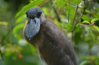 Boat billed Heron