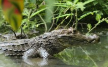 Caiman (Mother)