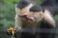 White-faced Monkeys