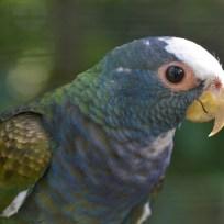 White Crowned Parakeet