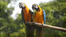 Blue & Gold Macaws