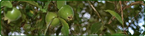 o_fruto