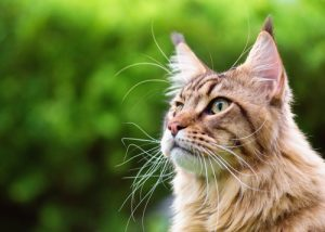 Close up portrait of black tabby Maine Coon cat on green background with copy-space and sunlight.