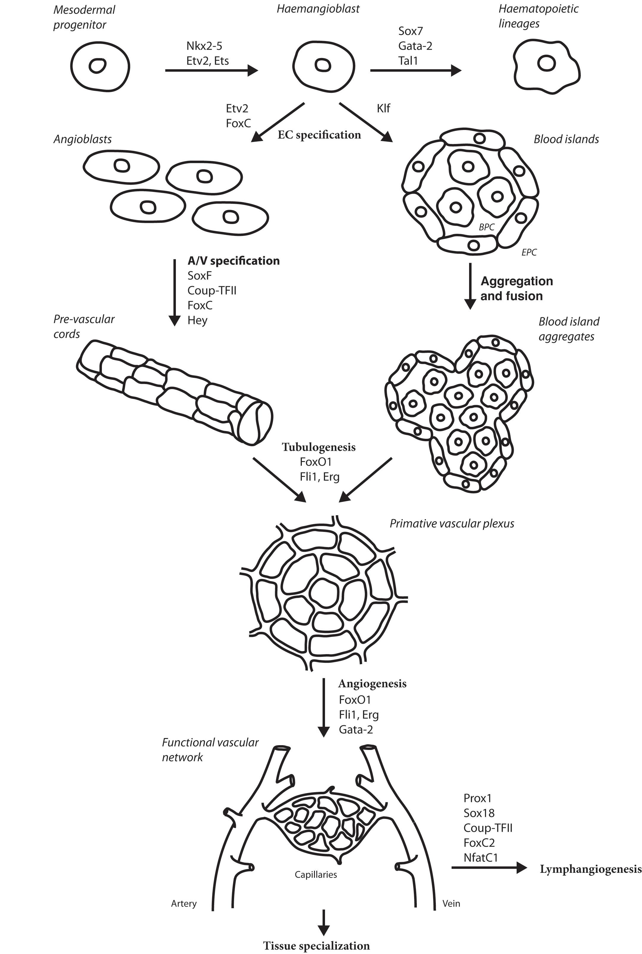 Transcriptional Modulation Of Tumour Induced Angiogenesis