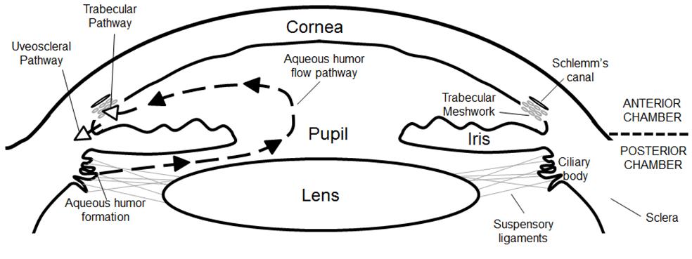 Anatomy Of The Human Eye And Aqueous Humor Pathway Download