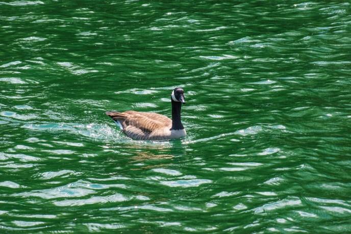 Canadian Goose — at Codorus State Park, Lake Marburg