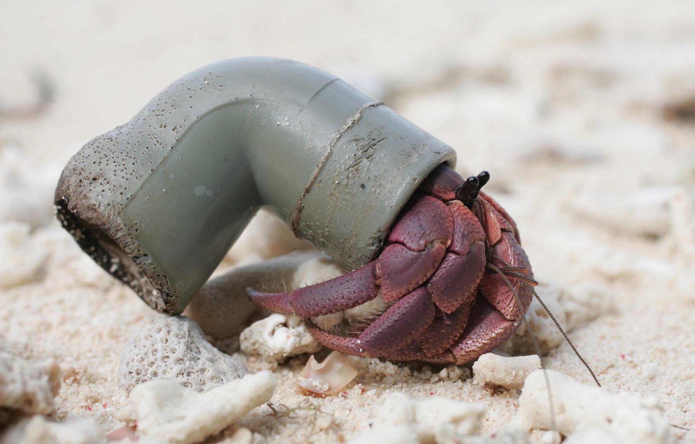 Half A Million Hermit Crabs Found Dead From Plastic Pollution Intelligent Living