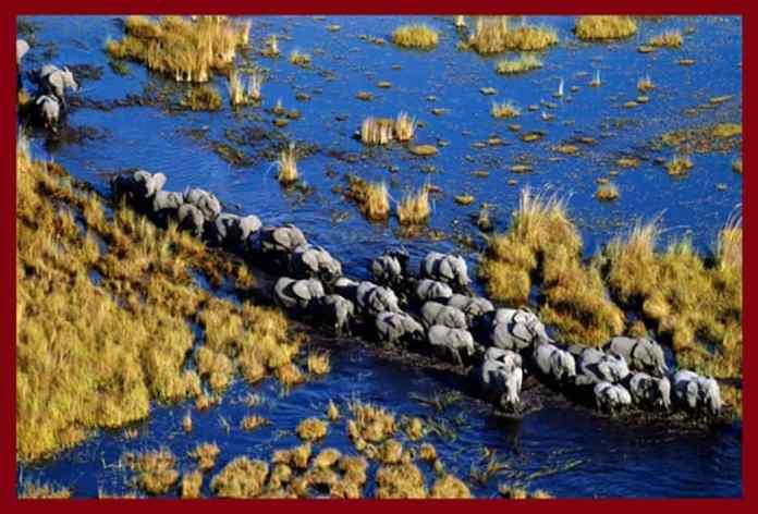 A herd of elephants traveling through wetlands in the Okavango Delta, Botswana