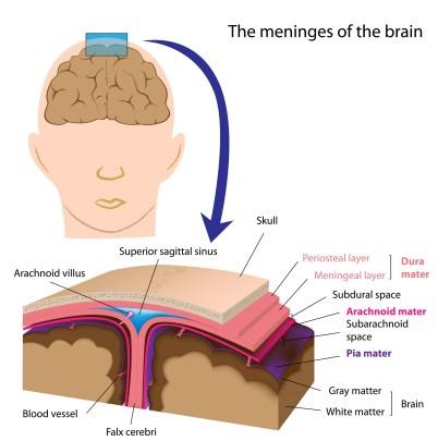 the meninges, interactive-biology.com