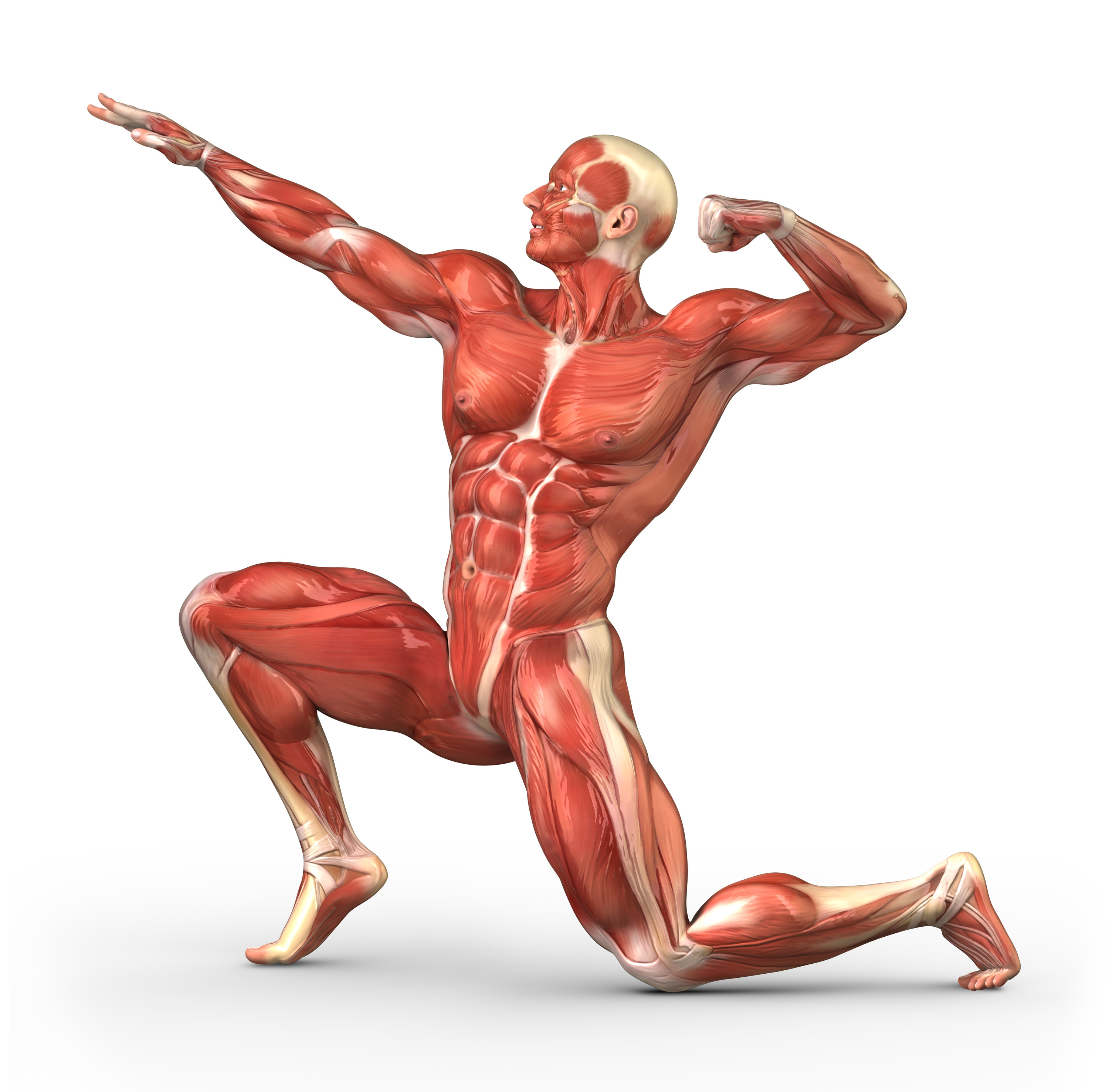 Image result for The human body muscles