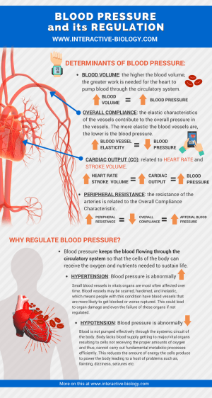 Blood Pressure and Its Regulation  Interactive Biology