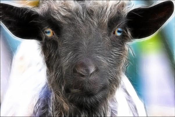 goat_gaze