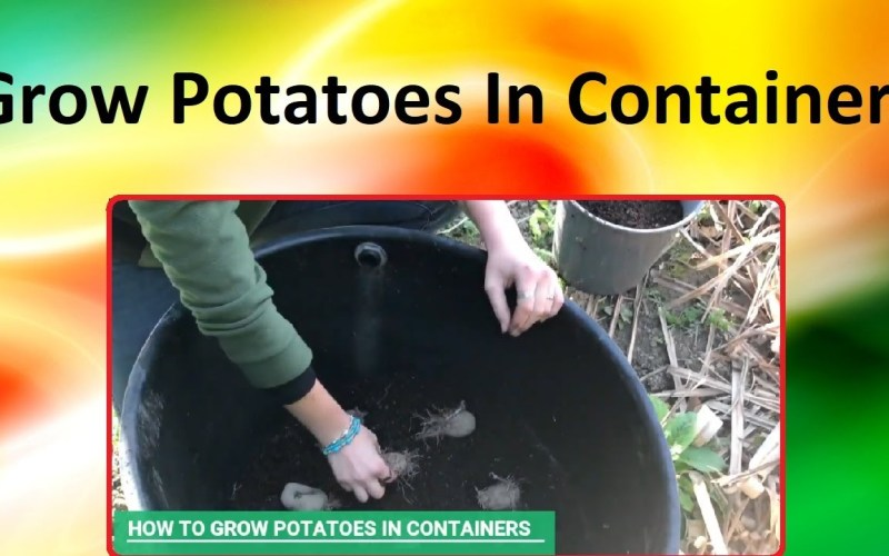 How To Grow Potatoes In A Container – (A hands on practical session)