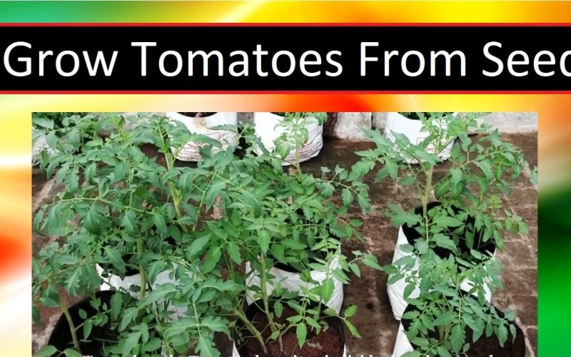 How To Grow Tomatoes From Seed – (TIPS AND TRICKS)