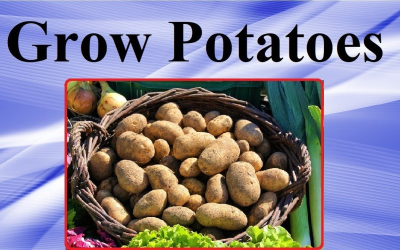Grow Potatoes In Your Backyard Garden – (Tips and Tricks) – Off the Grid Gardening