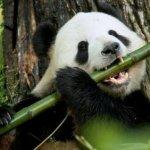 panda-food-bamboo