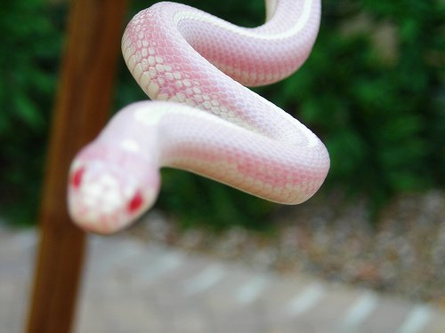 albino california king snake