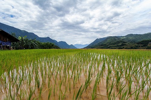 rice crop in paddy fields