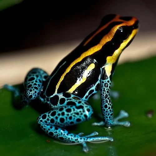 Poison Dart Frog - image by Flickr user MoleSon²