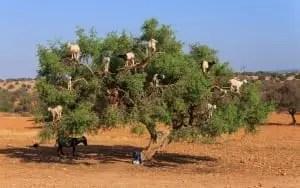 goats trees