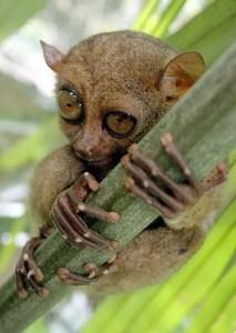 philippine tarsier facts