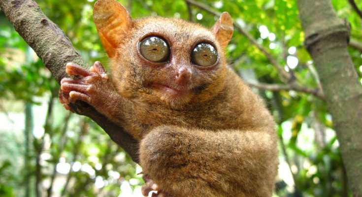 facts about tarsiers