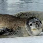 Leopard Seal Poops Out USB Drive, Confusing Scientists