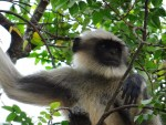 Sophisticated monkey hunting aids human colonisation of South Asian rainforest