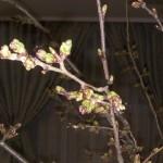 庭の桜はまだつぼみ