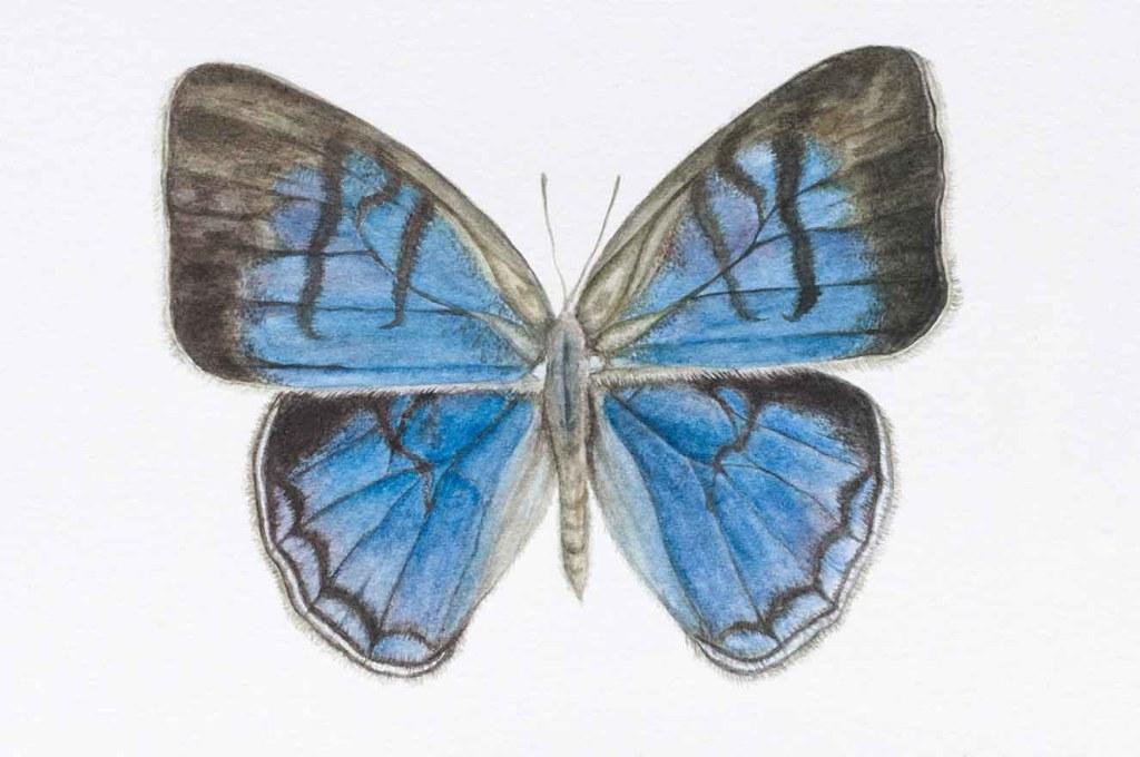 Cepheuptychia sp. Nov. (Apaporis). Acuarela sobre papel, 42 x 30 cm. Colección Colombia Bio. 2018.