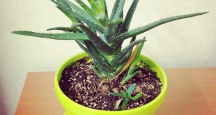 air_purifying_plants